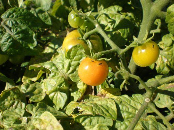 tomater3sept